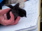Ornithologist during measuring little auk — Stock Photo