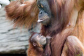 Mum and Baby Orangutan — Stock Photo