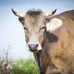 Cow portrait — Stock Photo #50517017