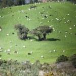 Goat grazing — Stock Photo #51109015
