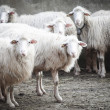 Sheep — Stock Photo #51798505