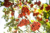 Fruits of rowan-tree — Stock Photo