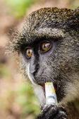 Monkey hungry for money — Stock Photo