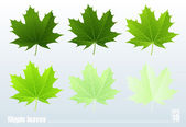 Green maple leaf. Vector. Set. — Stock Vector