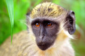 Green monkey in Senegal, Africa  — Stock Photo
