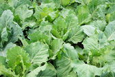Cabbage leaves. — Stock Photo
