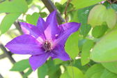 Clematis in a sunny garden — Stock Photo