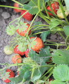 Natural strawberry bush growing in the garden — Stock Photo