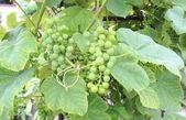 Ramo de uvas verdes verdes — Fotografia Stock