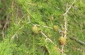 Cones on coniferous tree — Stock Photo