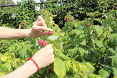 Hand of woman reaps the fruits in sunny garden — Stock Photo
