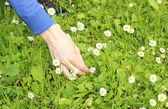 Hand of woman with fresh white daisies — Stock Photo