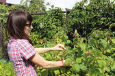 Woman reaps the fruits in sunny garden — Stock Photo