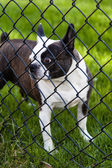 Dog Behind Chain-Linked Fence — Stock Photo