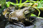 Bullfrog on a Rock — Stock Photo