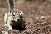 Chipmunk Tamias Striatus — Stock Photo