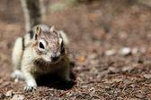 Veverky tamias striatus — Stock fotografie