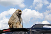 Monkey on the Roof of a Car — Stock Photo