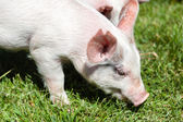 Little Piglet Eating Grass — Stock Photo