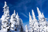 Snow Covered Pines — Stock Photo