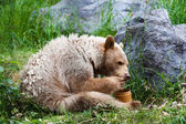 Kermode (Spirit) Bear Eating Honey — Stock Photo