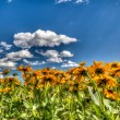 Yellow Daisies Under a Blue Sky — Stock Photo #50504515