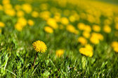Lone Dandelion Background — Stockfoto
