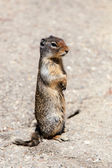 Prairie Dog (Cynomys) on the Lookout in Banff — Stock Photo