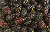 Scattered mulberries — Foto de Stock