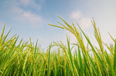 Green ear of rice in paddy rice field — Stock Photo