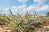 Pineapple fruit (ananas comosus) growing under blue sky  — Stock Photo