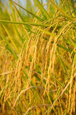 Ear of rice before harvest — Stock Photo