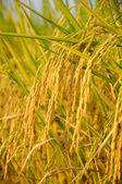Ucho ryżu przed zbiorem — Zdjęcie stockowe