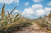 Pineapple fruit (ananas comosus) growing under blue sky  — Stock Photo