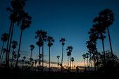 Silhouette of sugar palm tree on twilight — Stock Photo