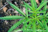 Green leaf cannabis indica plant (ganja) — Stock Photo