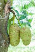 Fresh green artocarpus integer (champedak or bankong) on tree — Stock Photo