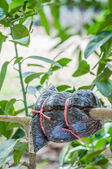 Closeup of graft on lime tree branch in the garden — Stock Photo
