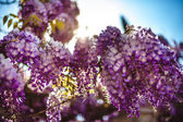 Branches of syringa — Stock Photo