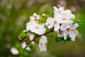 White blossom — Stock Photo
