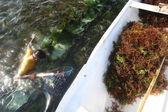 Seagrass harvesting — Stock Photo