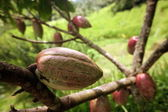 Cocoa fruits in a plantation — Stock Photo