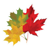 Autumn maple leaves on a white background. Red, green and yellow maple. Vector illustration. — ストックベクタ