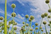 Campo di cipolla — Foto Stock