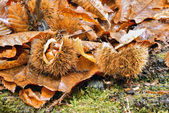 Chestnuts in the undergrowth — Stock Photo