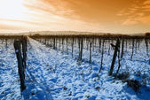 Vineyard in winter — Zdjęcie stockowe
