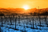 Vineyard with snow — Stock fotografie