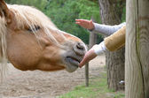 Hand that caresses the horse — 图库照片