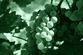 Bunch grapes — Stock Photo