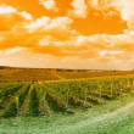 Amazing vineyard — Stock Photo #50427099